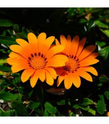 Gazánie Kiss Orange F1 - Gazania rigens - osivo gazánie - 12 ks