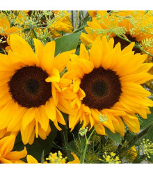 Slunečnice Big Smile - Helianthus annuus - osivo slunečnice - 8 ks