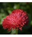 Sedmikráska chudobka Tasso červená - Bellis perennis - osivo sedmikrásky - 50 ks