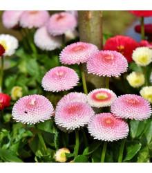 More about Sedmikráska chudobka Tasso růžová s červeným středem - Bellis perennis - osivo sedmikrásky - 50 ks