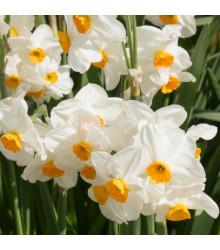 Narcis Geranium - Narcissus - cibule narcisů - 3 ks