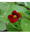 Lichořeřišnice červenočerná Black Velvet - Alaska - Tropaeolum nanum - osivo lichořeřišnice - 15 ks