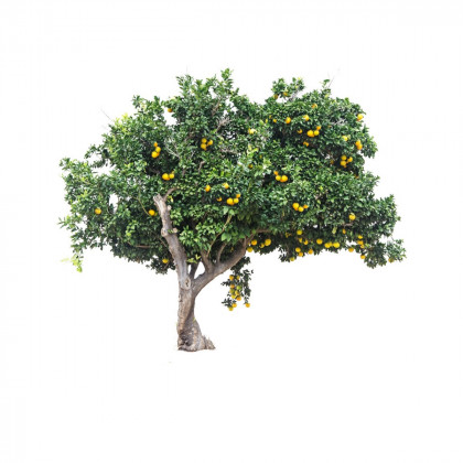 Plodící stromy
